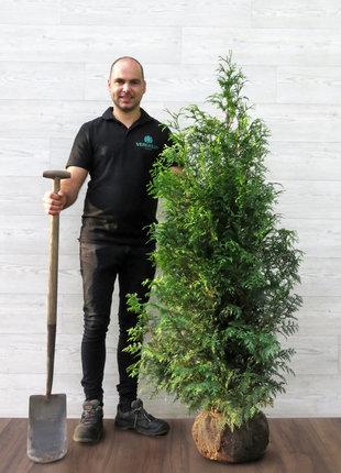 Dunkelgrüne Lebensbaum 125-150cm