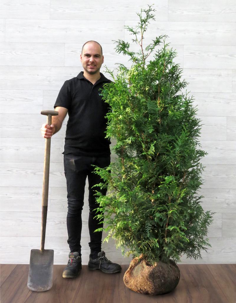 Donkergroene Thuja 150-175cm