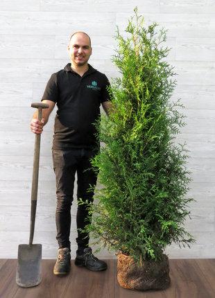 Conifeer Brabant 160-180cm