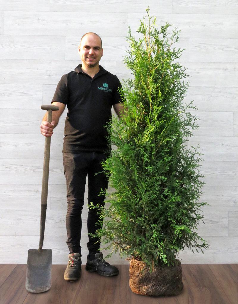 Lebensbaum Brabant 160-180cm
