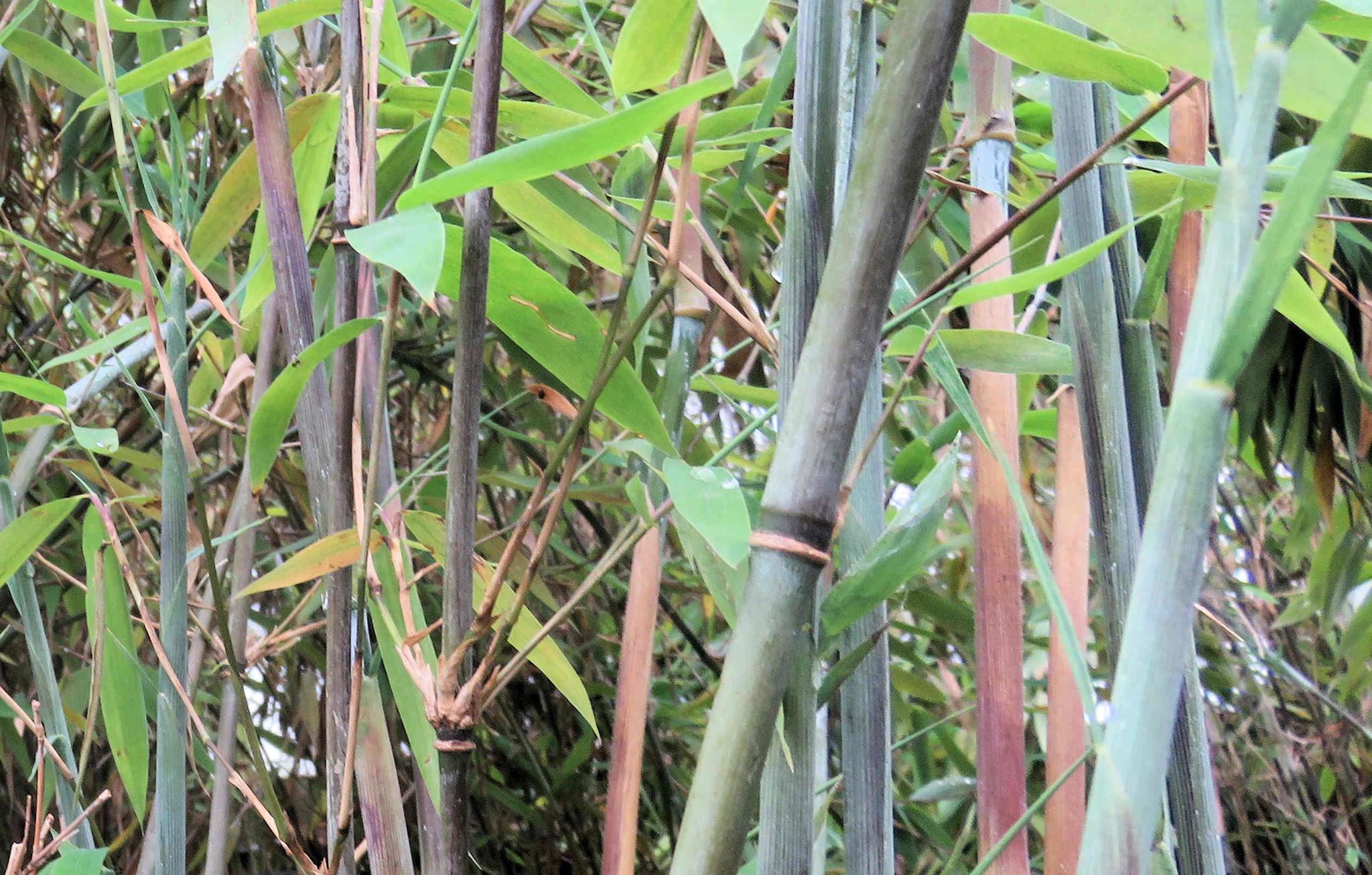 Bamboe Fargesia Winter Joy