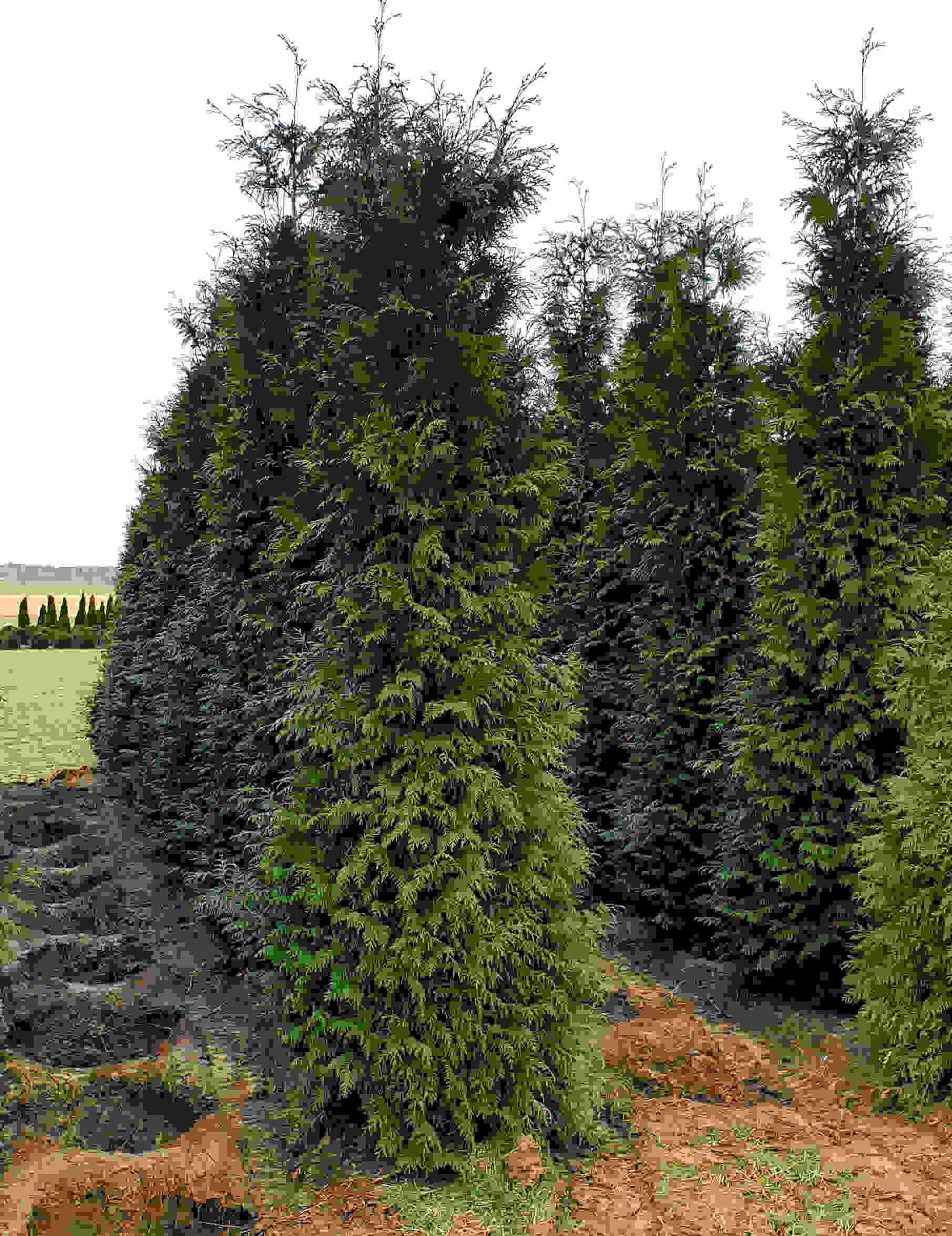 Donkergroene Thuja 300-325cm