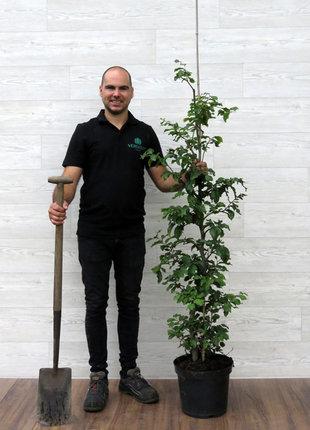 Groene Beuk 125-150cm in 7.5 liter pot