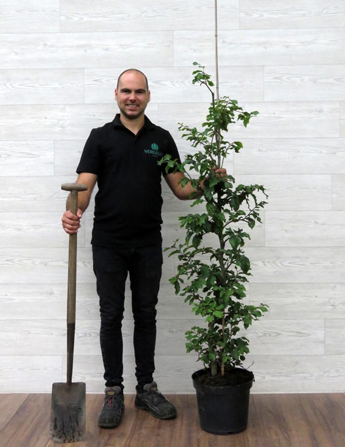 Groene Beuk 125-150cm 7.5 liter pot