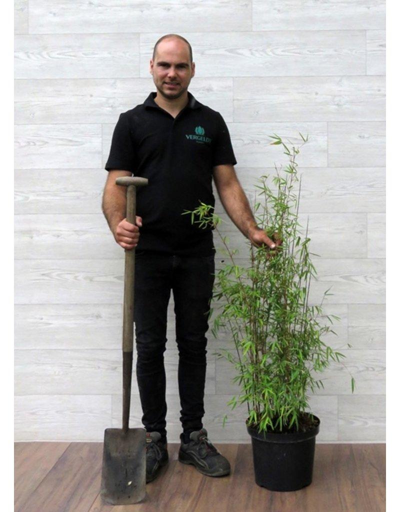 Fargesia Jiuzhaigou 80-100cm in pot