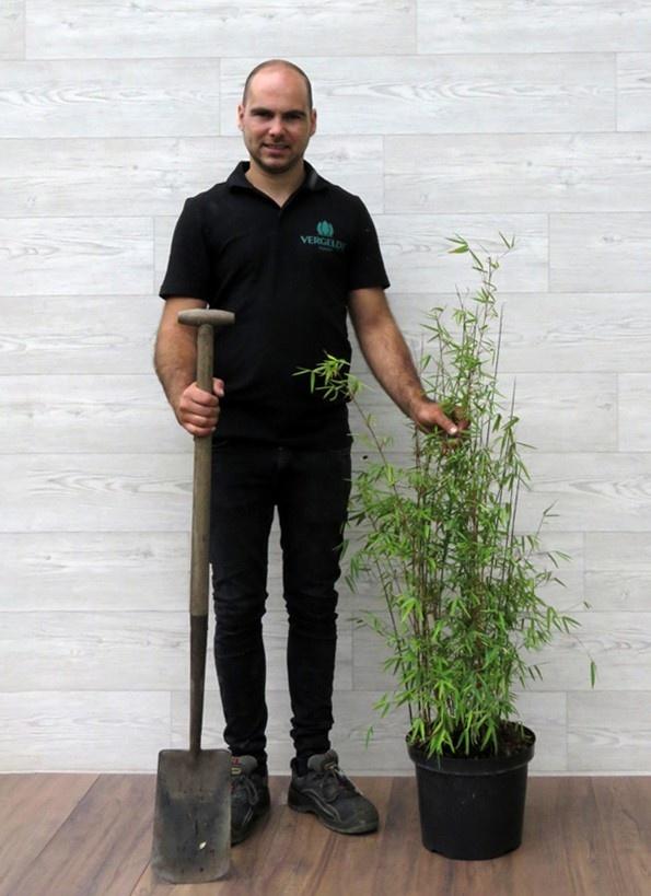 Fargesia Jiuzhaigou 80-100cm in 5 liter pot