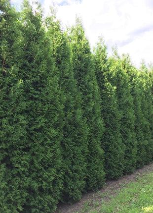 Lebensbaum Brabant 500-550cm