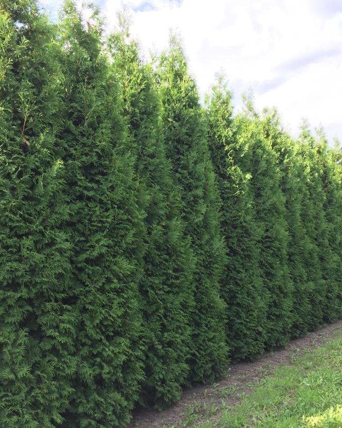 Lebensbaum Brabant 600-700cm