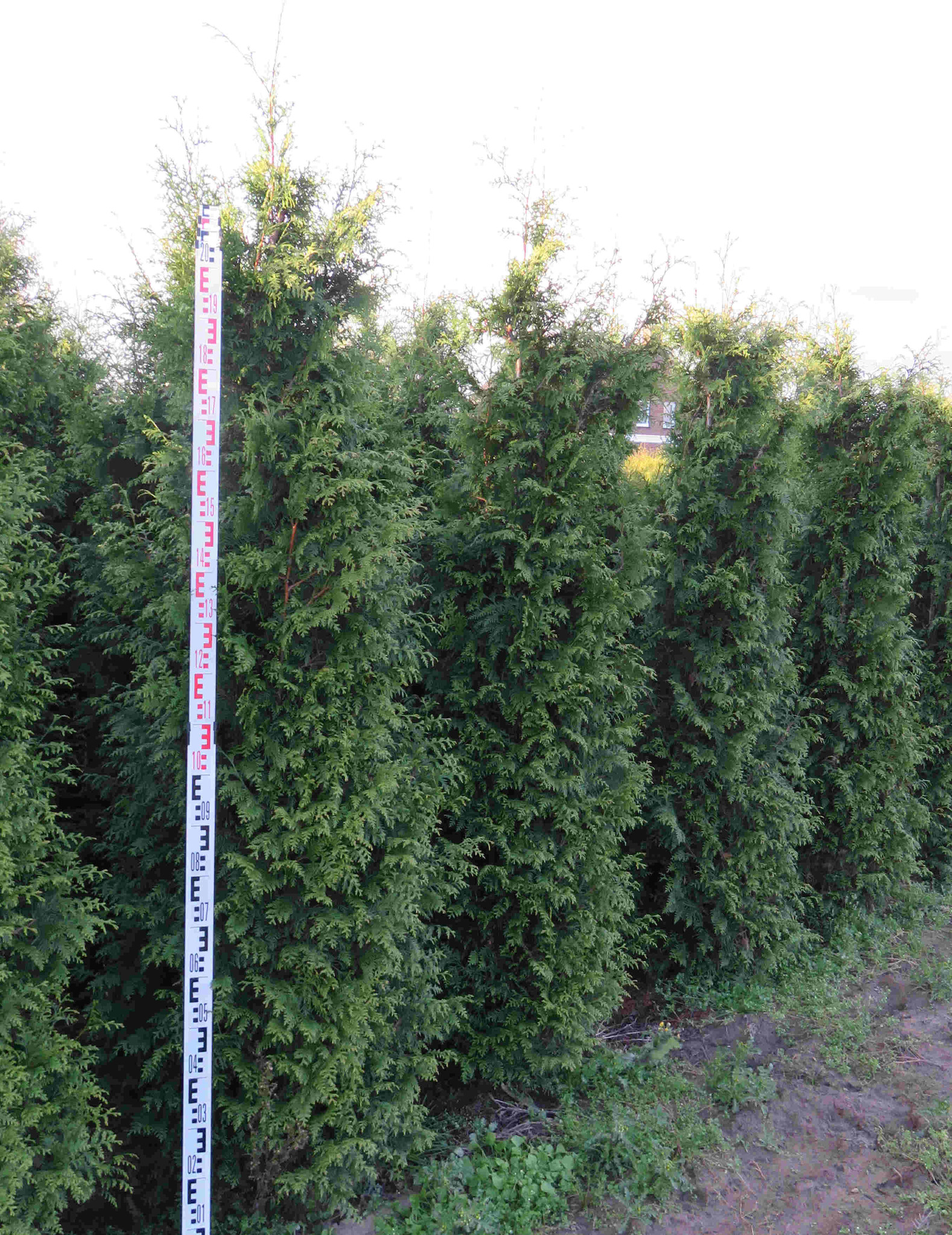 Donkergroene Thuja 225-250cm