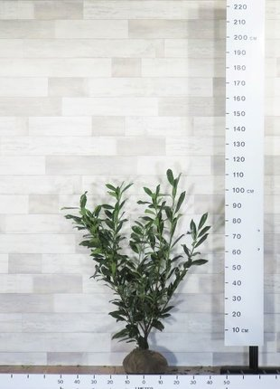 Kirschlorbeer Caucasica 80-100cm