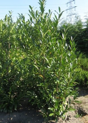 Kirschlorbeer Caucasica 200-225cm