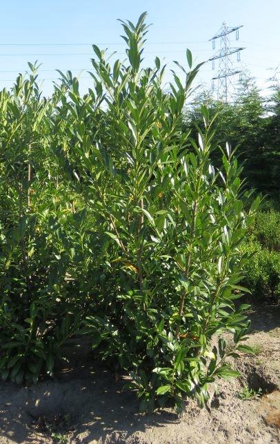 Kirschlorbeer Caucasica 200-225cm mit Ballen