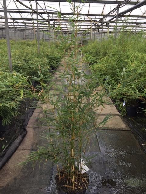 Fargesia robusta Campbell 100-125cm im 7,5 liter Topf