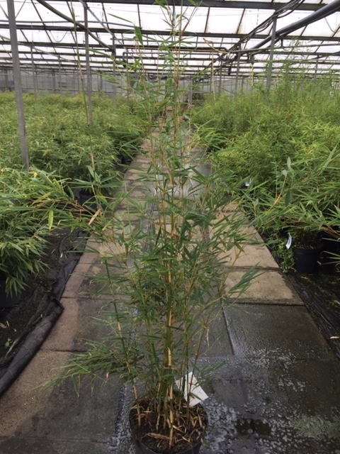 Fargesia robusta Campbell 100-125cm in 7,5 liter pot