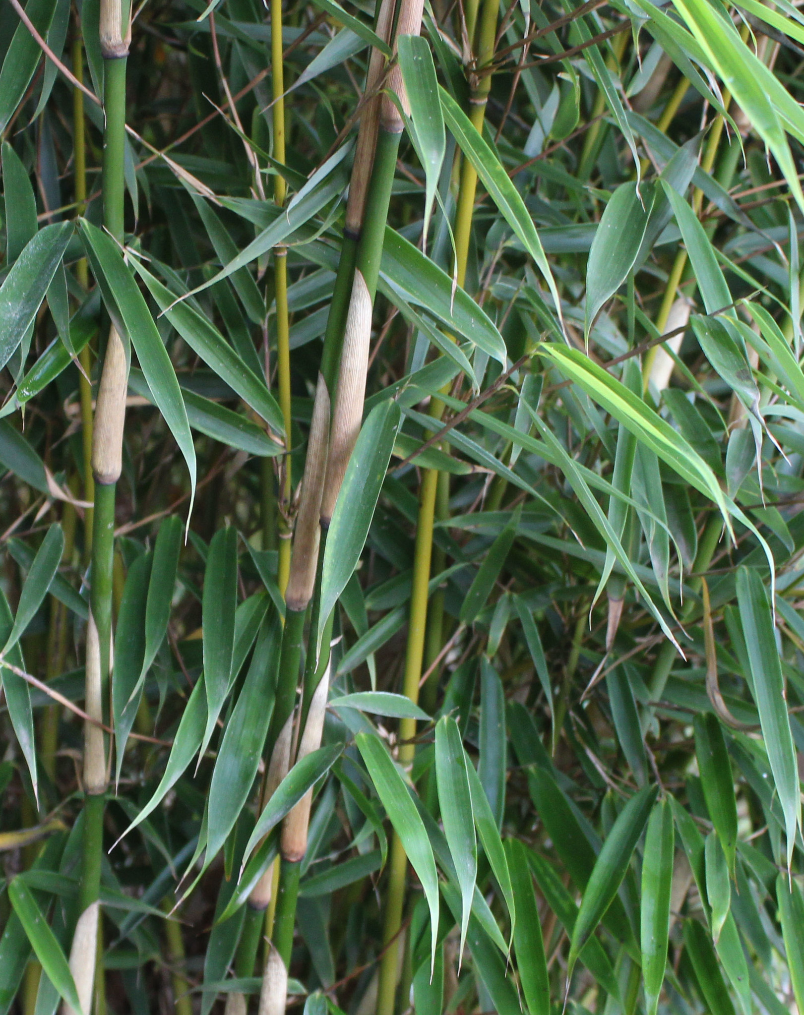 Fargesia robusta Campbell 125-150cm im 7,5 liter Topf