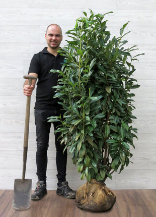 Kirschlorbeer Genolia 150-175cm