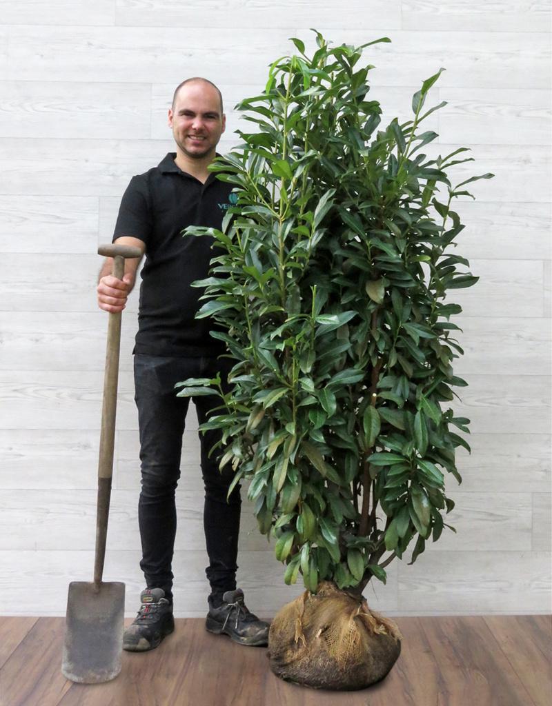 Laurier Genolia 150-175cm met kluit