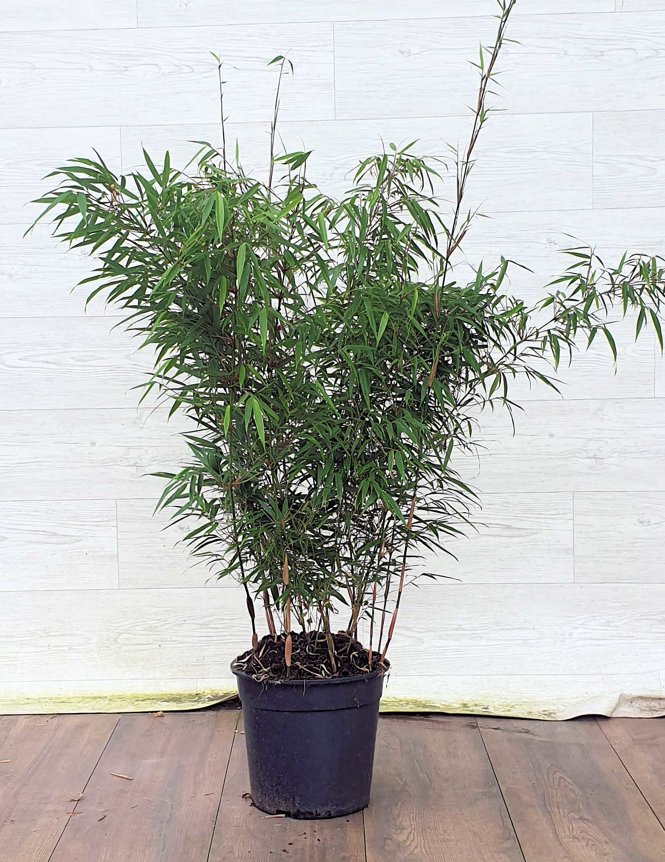 Fargesia Rufa 100-125cm in 10 liter pot