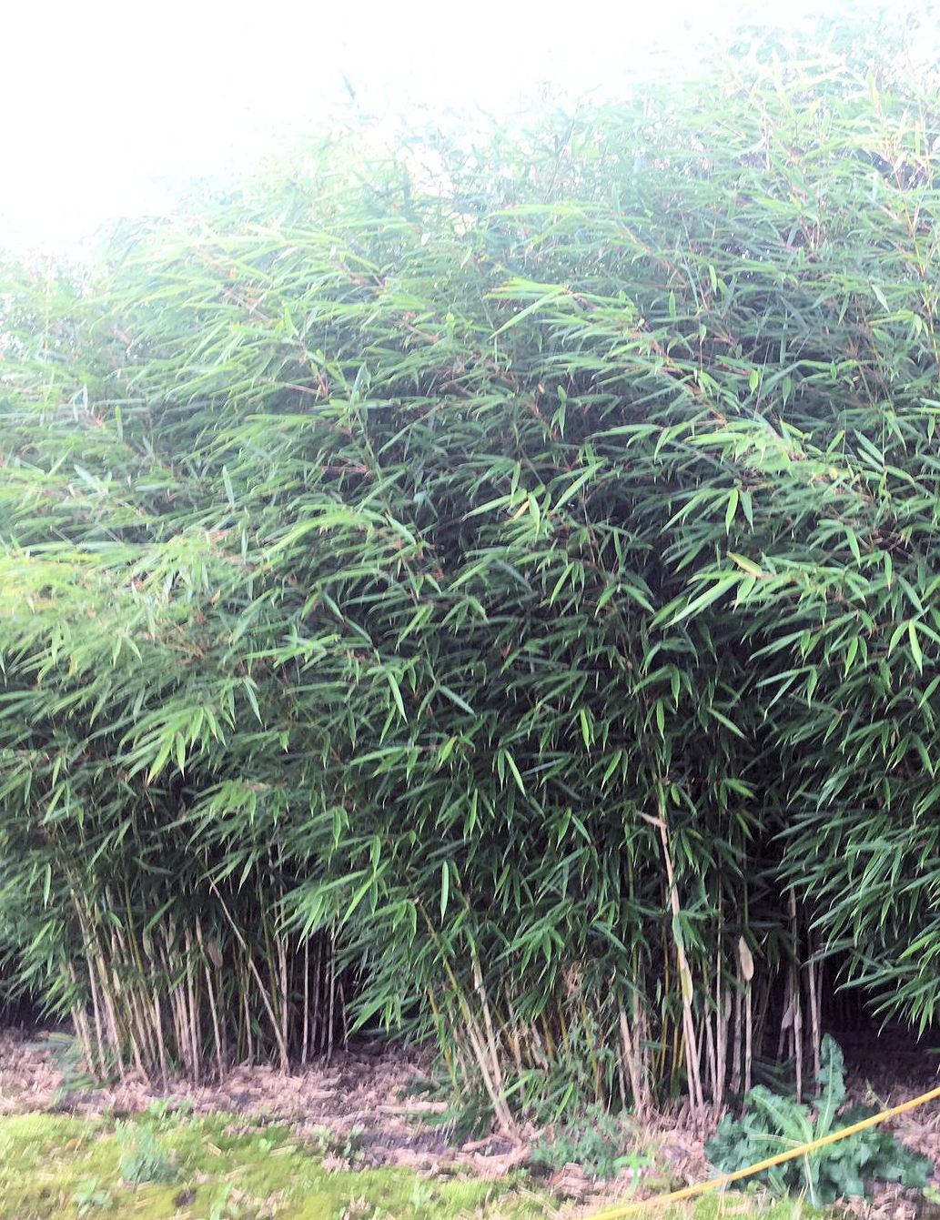 Fargesia robusta Campbell 300-350cm mit Ballen