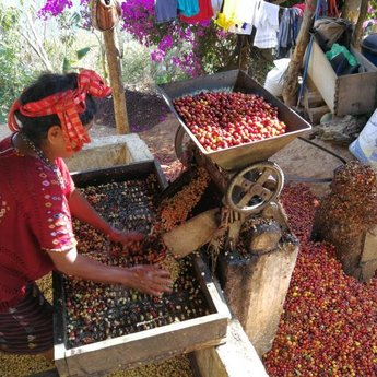 Koffiebranderij Van Ouytsel Guatemala MAM Huehuetenango