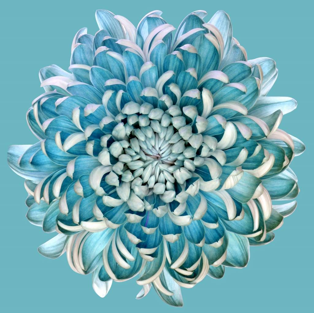 Umo Art Gallery Blue Chrysanth