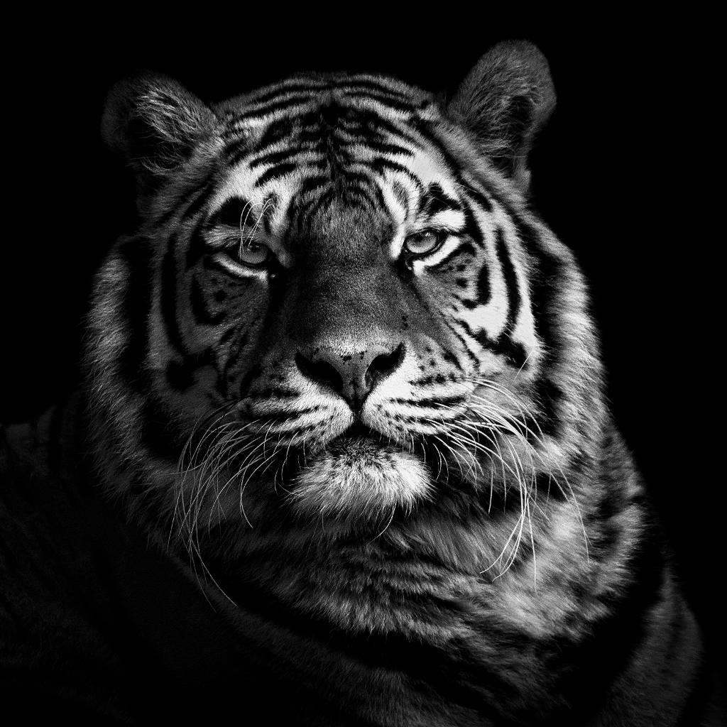 Umo Art Gallery Tiger