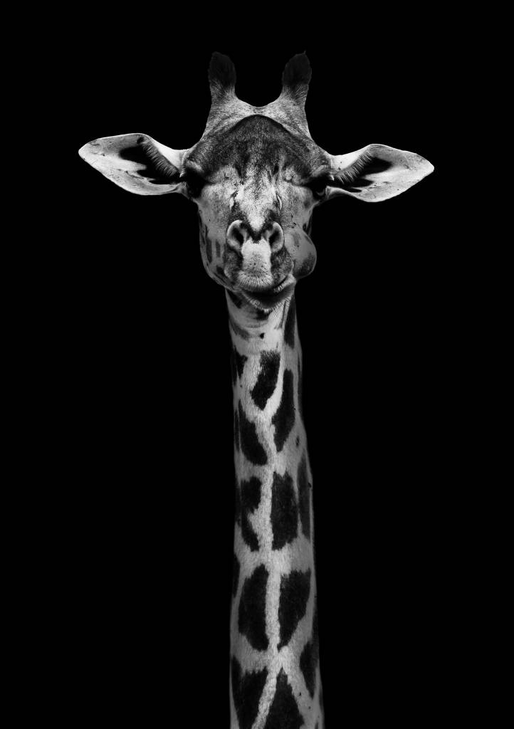 Umo Art Gallery Giraffe Portrait