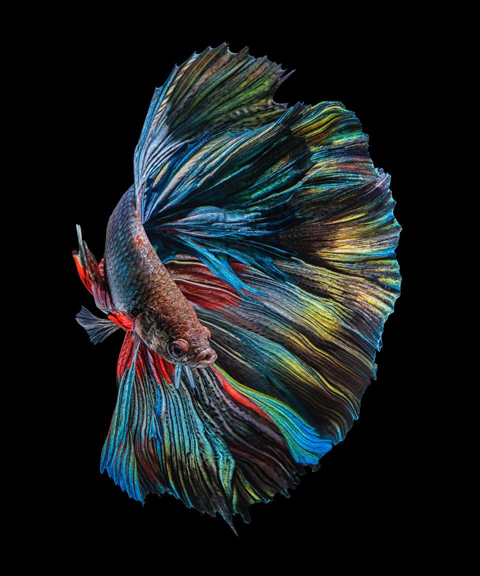 Umo Art Gallery The Betta Fish
