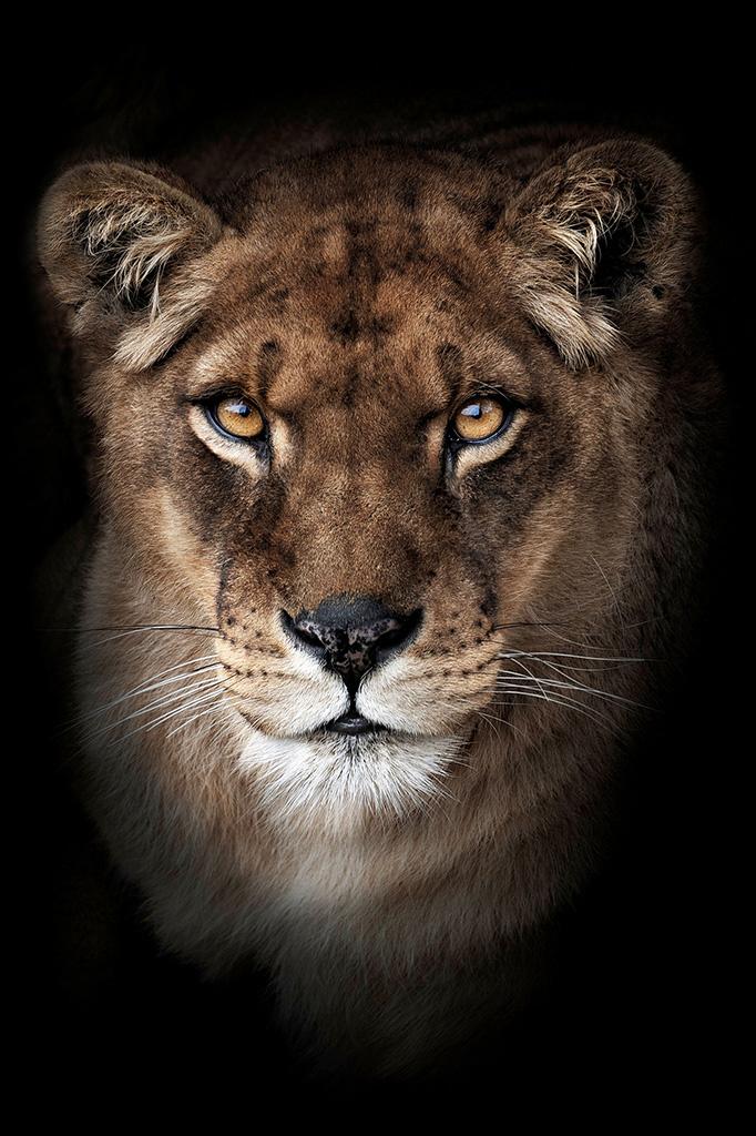 Umo Art Gallery Lioness