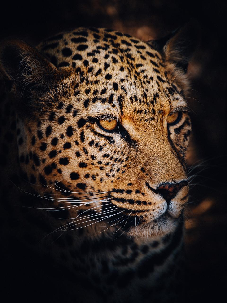 Umo Art Gallery  Leopard