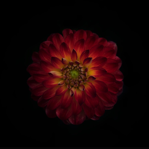 Umo Art Gallery Dahlia time