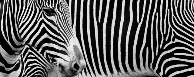 Umo Art Gallery Zebra's