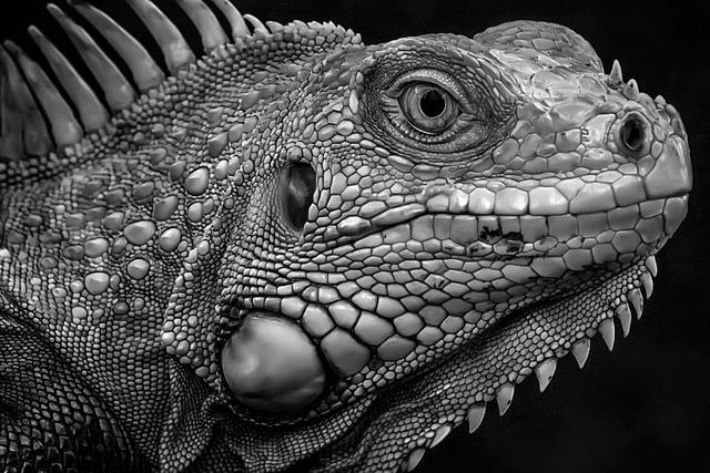 Umo Art Gallery Firm Look of Iguana