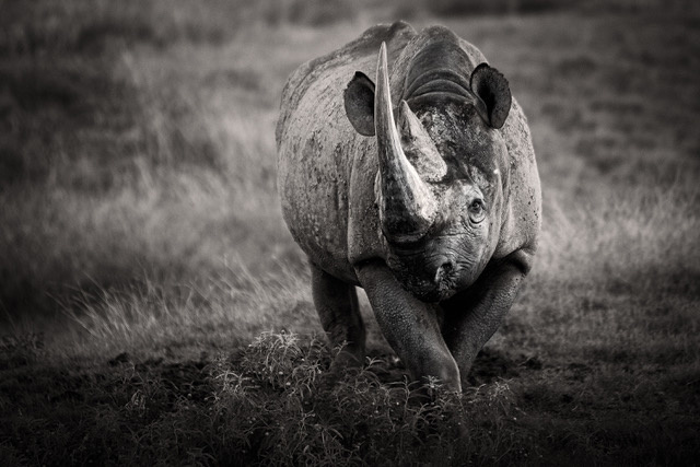 Umo Art Gallery Black African Rhino