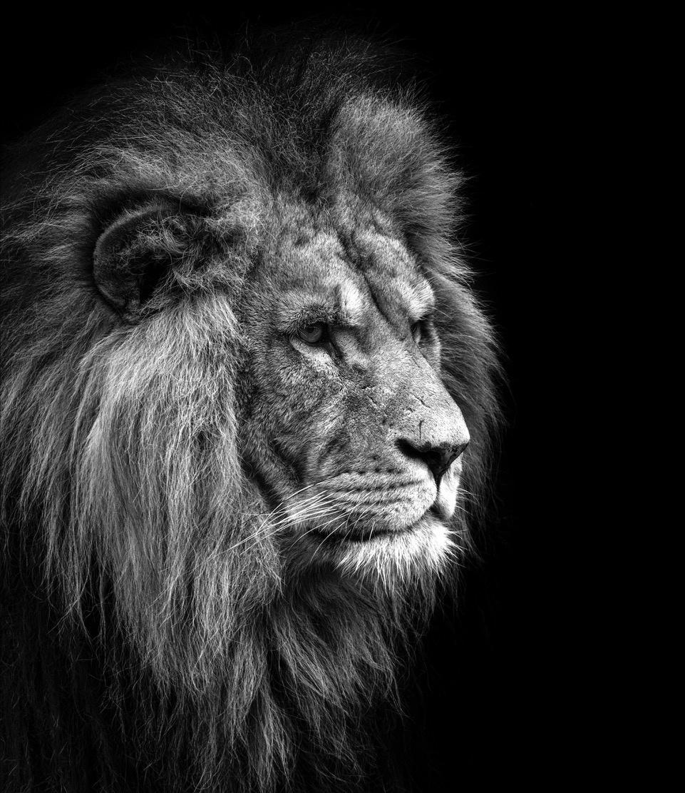 Umo Art Gallery Lion Portrait black/white