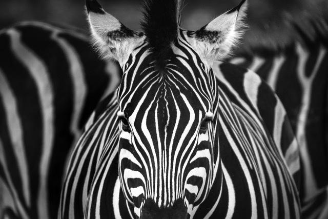 Umo Art Gallery Zebra foal's gaze