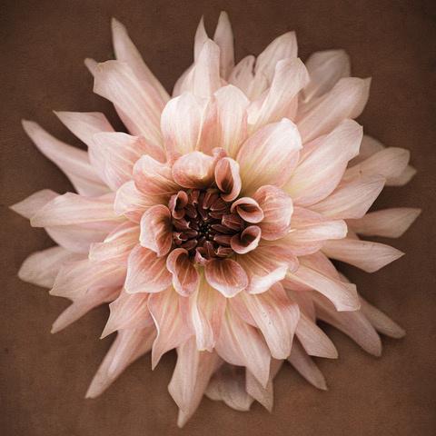 Umo Art Gallery Dahlia – Dusty Pink