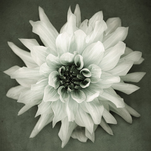 Umo Art Gallery Dahlia – black and white