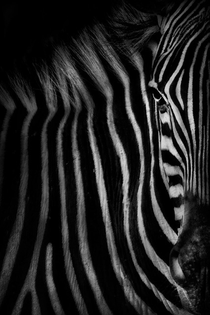 Umo Art Gallery Zebra face