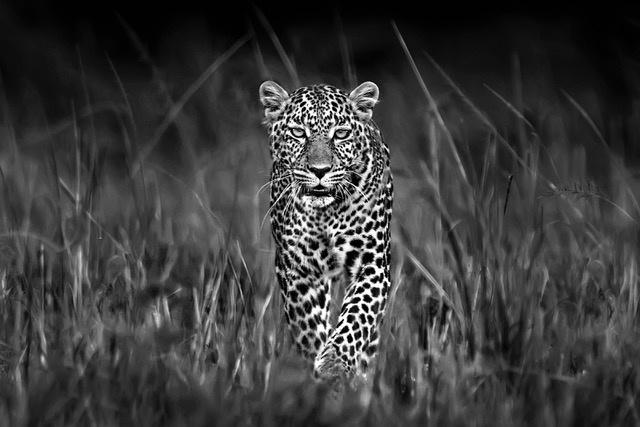 Umo Art Gallery Patrolling leopard