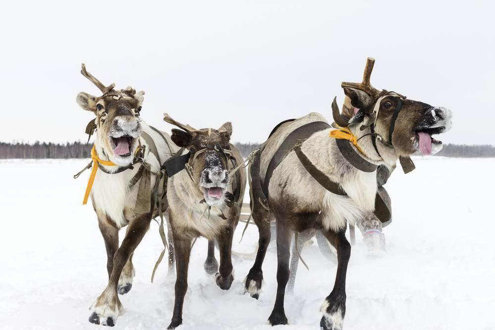Umo Art Gallery Funny reindeer