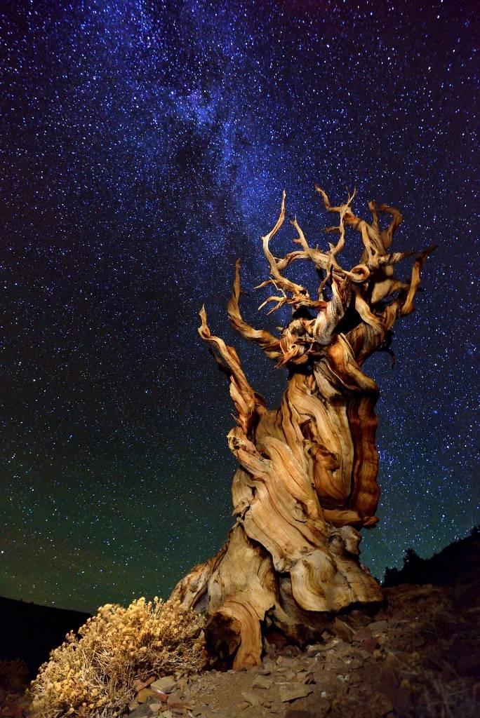 Umo Art Gallery Bristlecone Pine