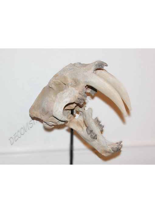 Baroque House of Classics saber-toothed tiger skull