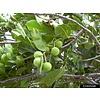 Arc en Sels Biologische Calophyllumolie (Tamanu)
