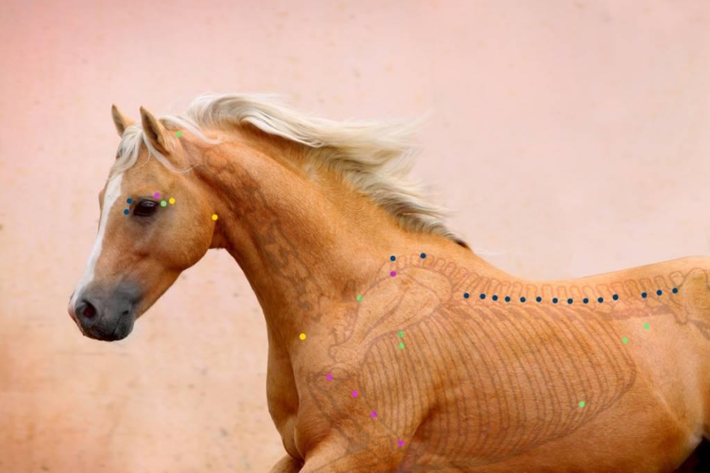 Teil III - Akupunktur beim Pferd