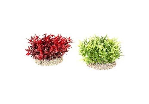 Aqua D'ella Plant gemengde kleuren