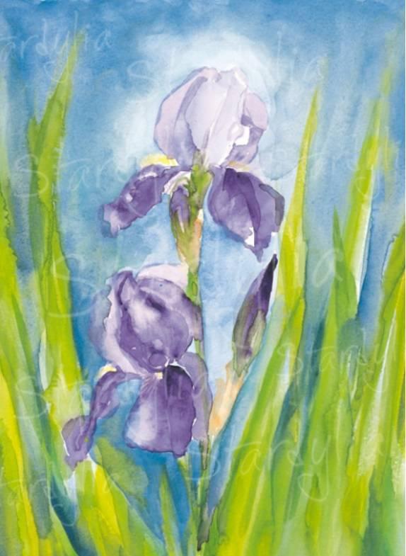 Marjan van Zeyl, Iris Germanica (345)