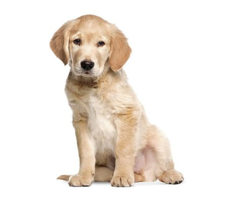 KEK Amsterdam Wall Sticker Golden Retriever puppy 34x43cm