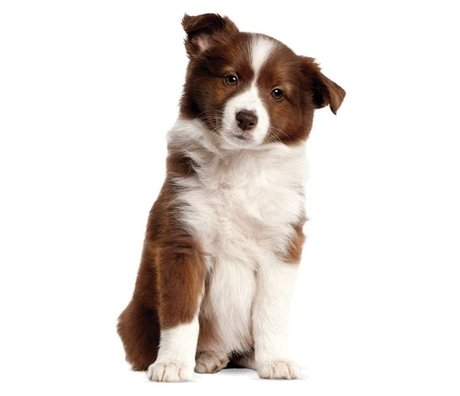 KEK Amsterdam Wall Sticker Border Collie puppy 27x43cm