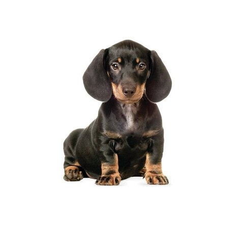 KEK Amsterdam Wall Decal Dachshund puppy 17x23cm